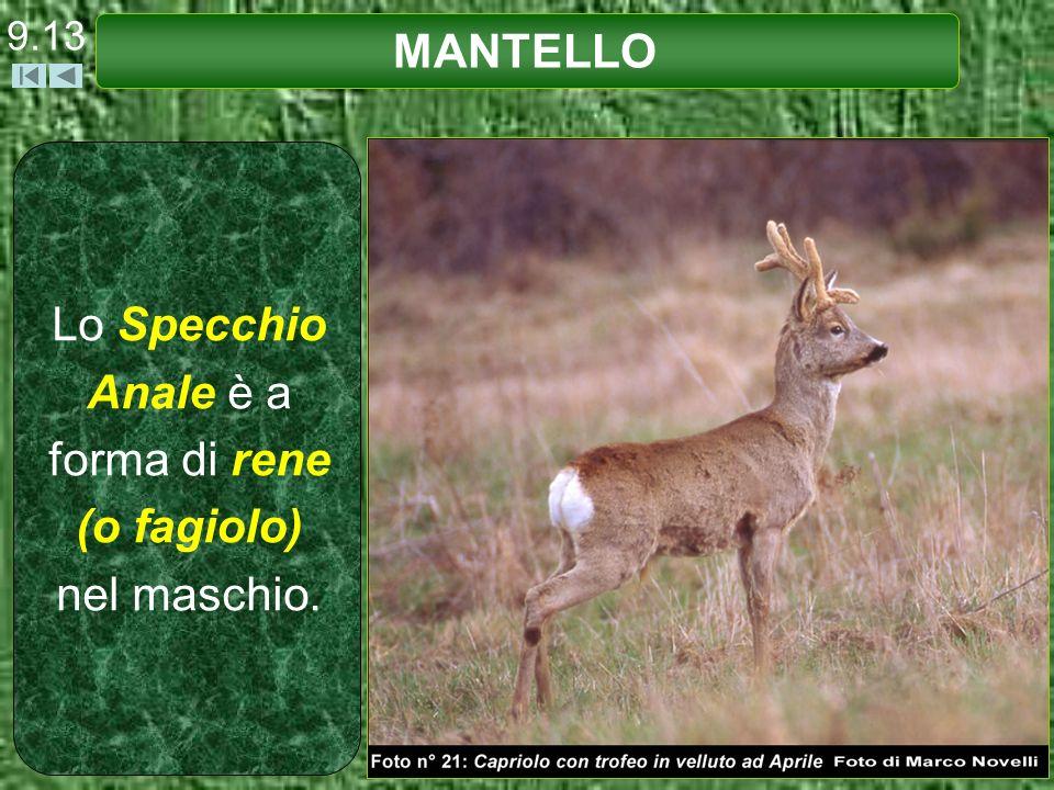 Lo Specchio Anale è a forma di rene (o fagiolo) nel maschio.