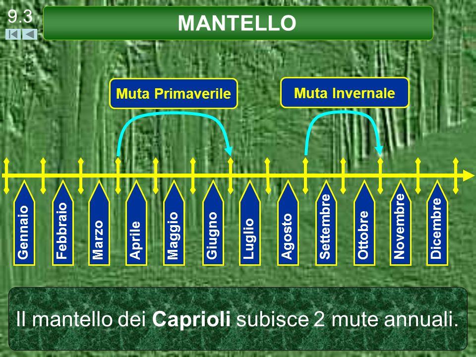 Il mantello dei Caprioli subisce 2 mute annuali.