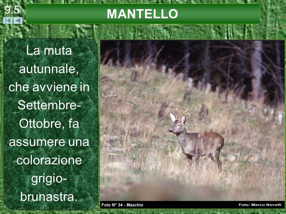 9.5 MANTELLO.