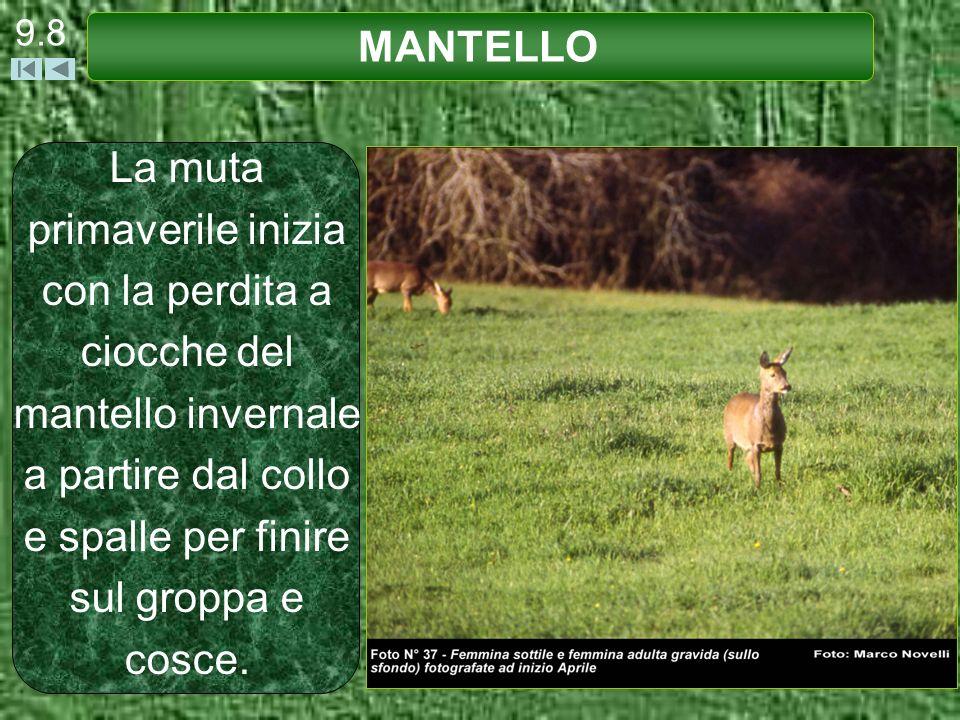 9.8 MANTELLO.