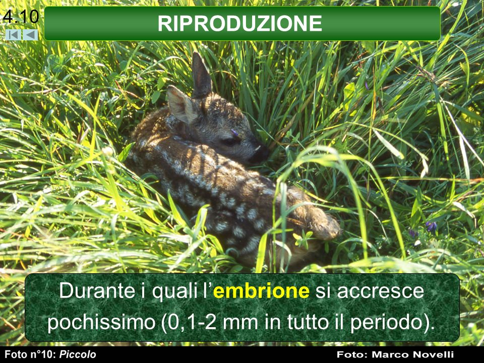 4.10 RIPRODUZIONE Durante i quali l'embrione si accresce pochissimo (0,1-2 mm in tutto il periodo).