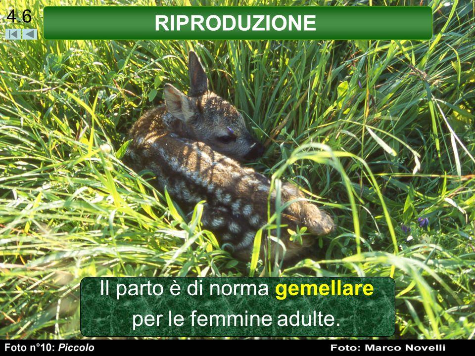 Il parto è di norma gemellare per le femmine adulte.