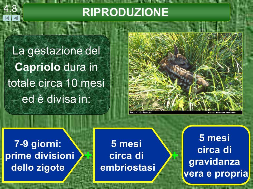 4.8RIPRODUZIONE. La gestazione del Capriolo dura in totale circa 10 mesi ed è divisa in: 5 mesi. circa di.