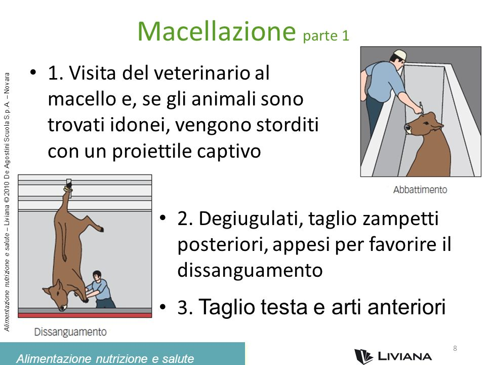 Macellazione parte 1 1. Visita del veterinario al macello e, se gli animali sono trovati idonei, vengono storditi con un proiettile captivo.