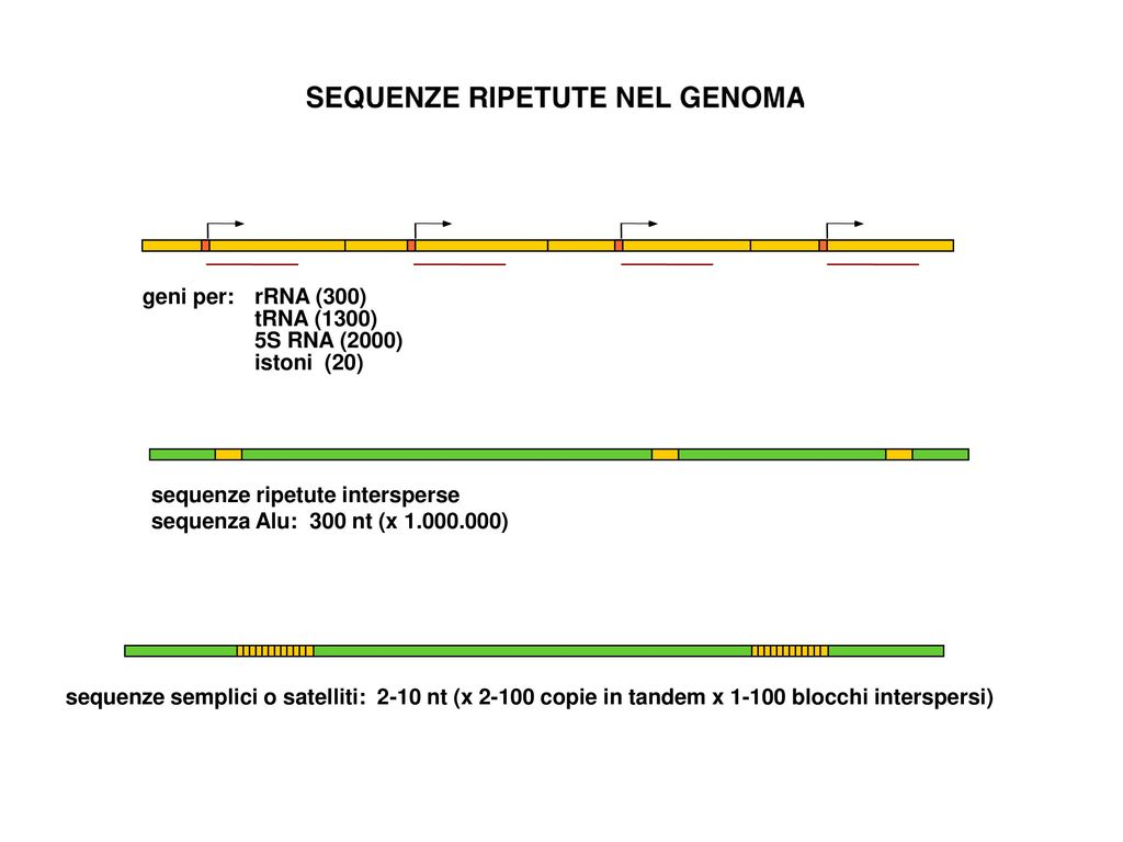 geni per: rRNA (300) tRNA (1300) 5S RNA (2000) istoni (20) sequenze ripetute intersperse. sequenza Alu: 300 nt (x )