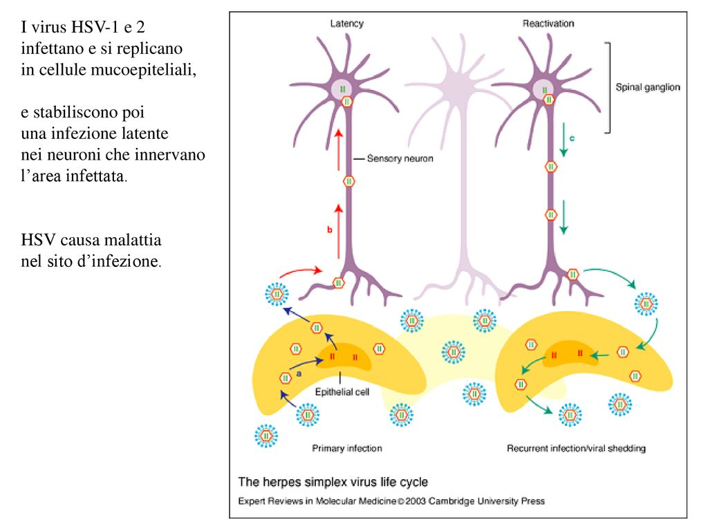 datazione con herpes 2