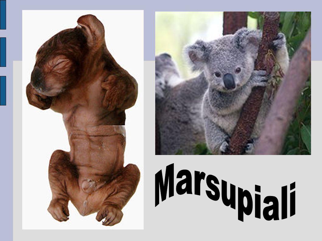 marsupiale pene diviso)