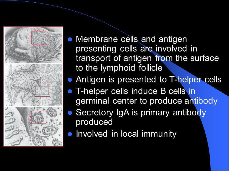 Membrane cells and antigen presenting cells are involved in transport of antigen from the surface to the lymphoid follicle
