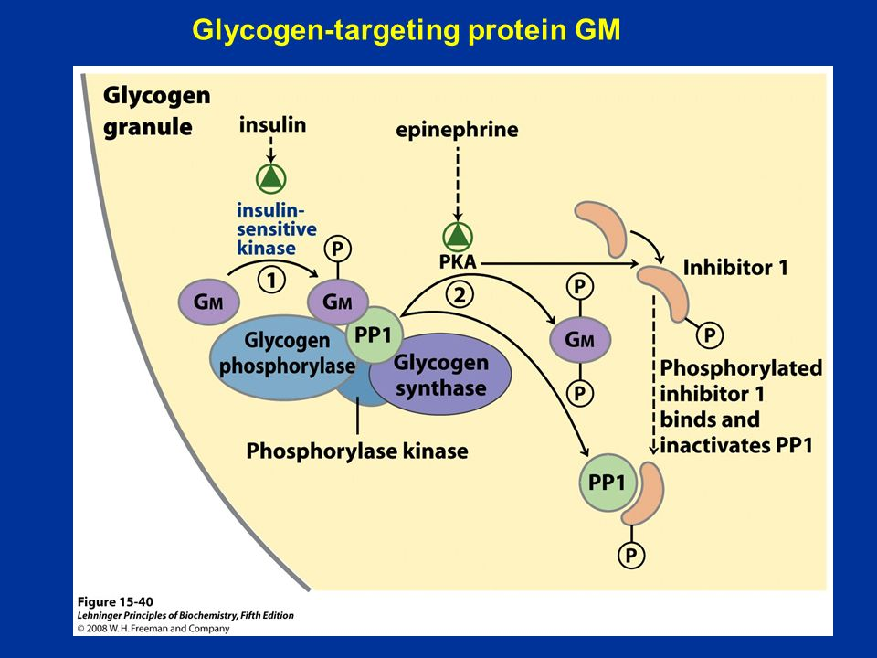 Glycogen-targeting protein GM