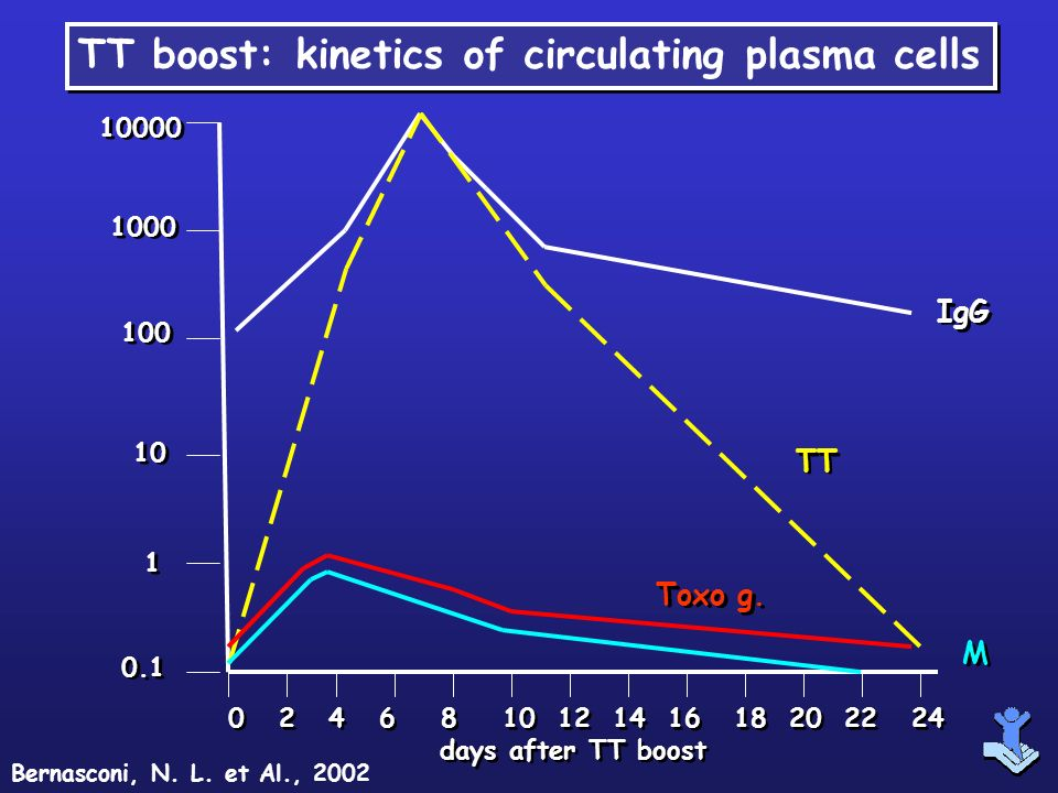 TT boost: kinetics of circulating plasma cells