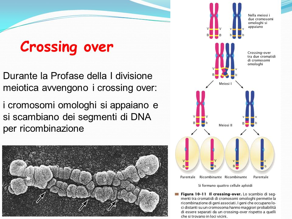 Crossing over Durante la Profase della I divisione meiotica avvengono i crossing over: