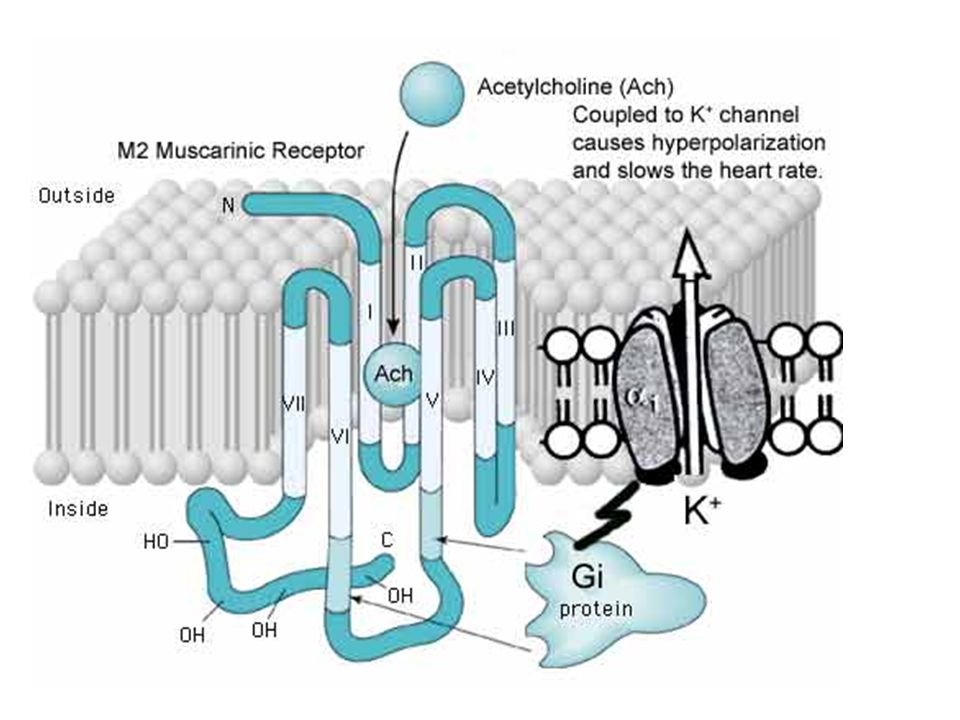 Transmembrane topology and action of a M2-muscarinic receptor