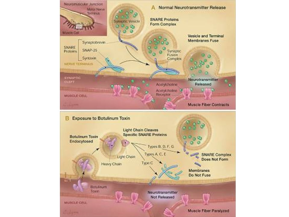 Action of botulinum neurotoxin