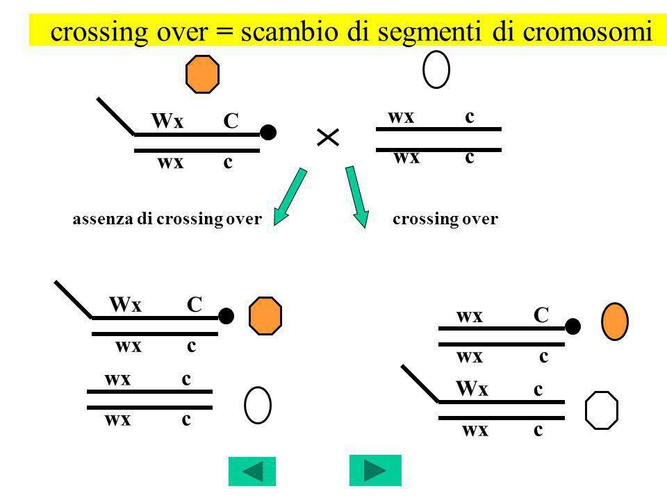 crossing over = scambio di segmenti di cromosomi