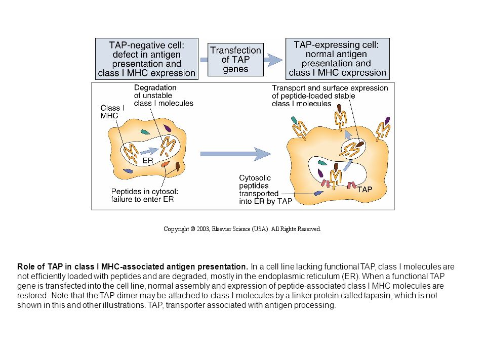 Role of TAP in class I MHC-associated antigen presentation