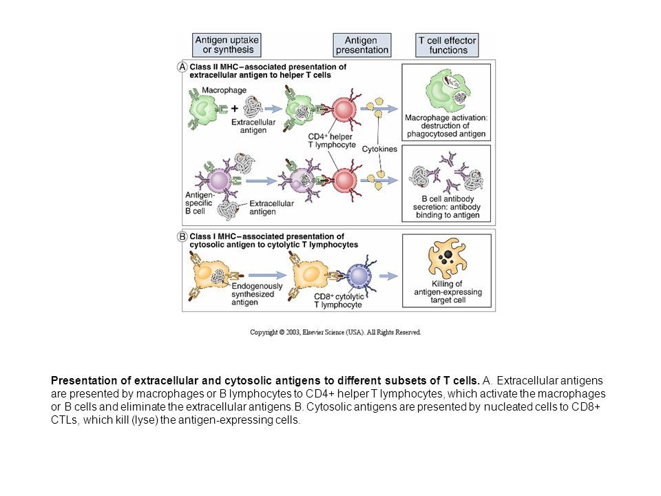 Presentation of extracellular and cytosolic antigens to different subsets of T cells.