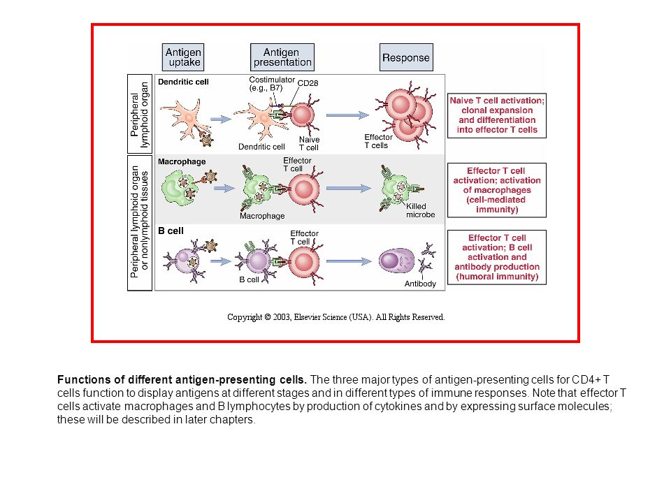 Functions of different antigen-presenting cells