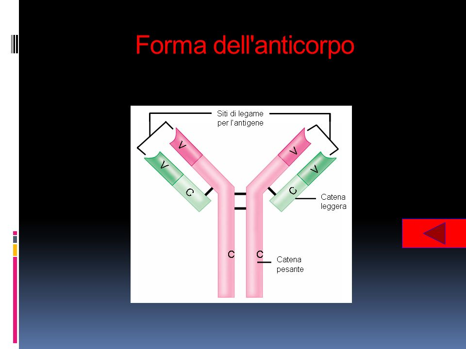Forma dell anticorpo