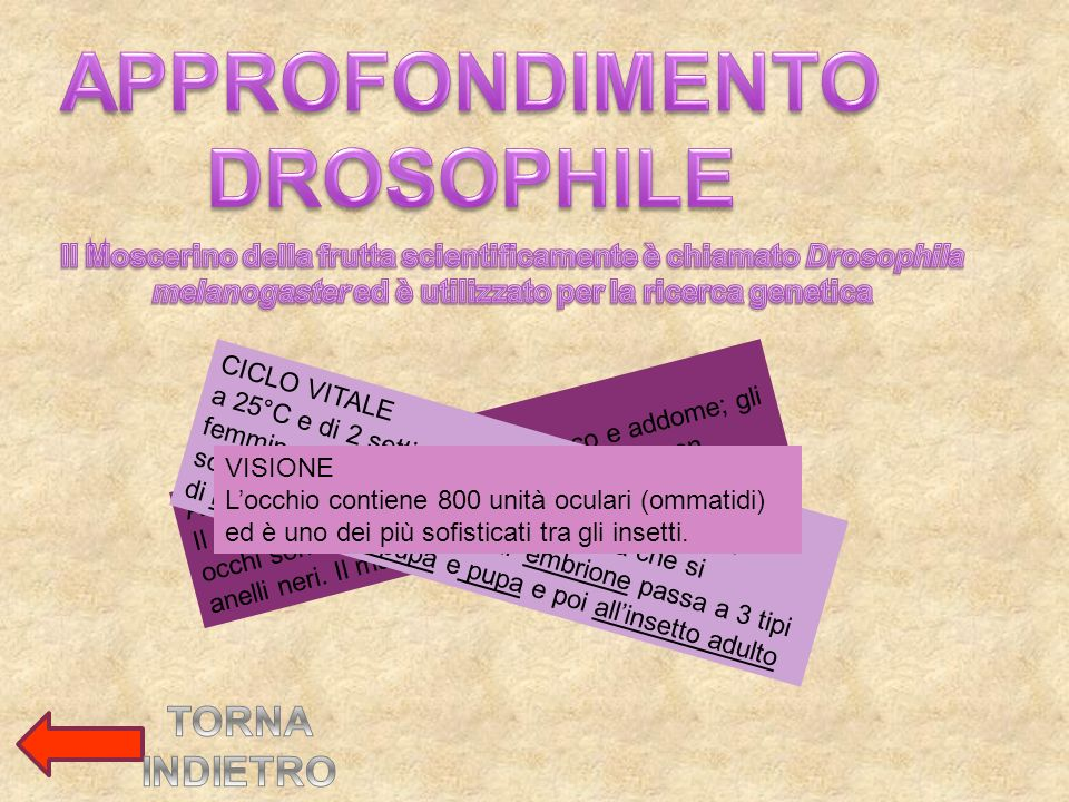 APPROFONDIMENTO DROSOPHILE