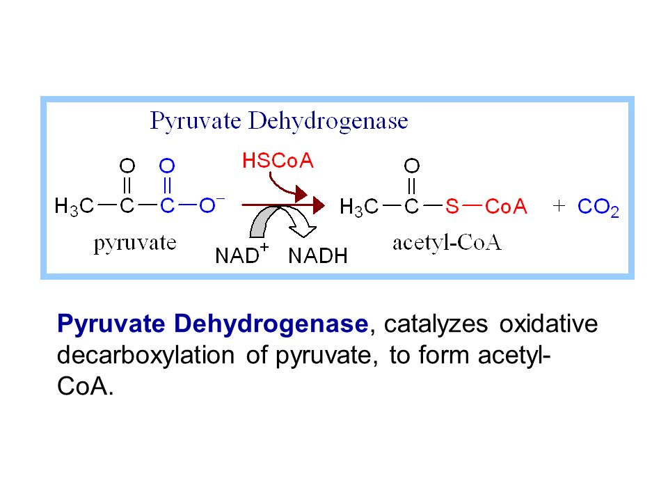 Pyruvate Dehydrogenase, catalyzes oxidative decarboxylation of pyruvate, to form acetyl-CoA.