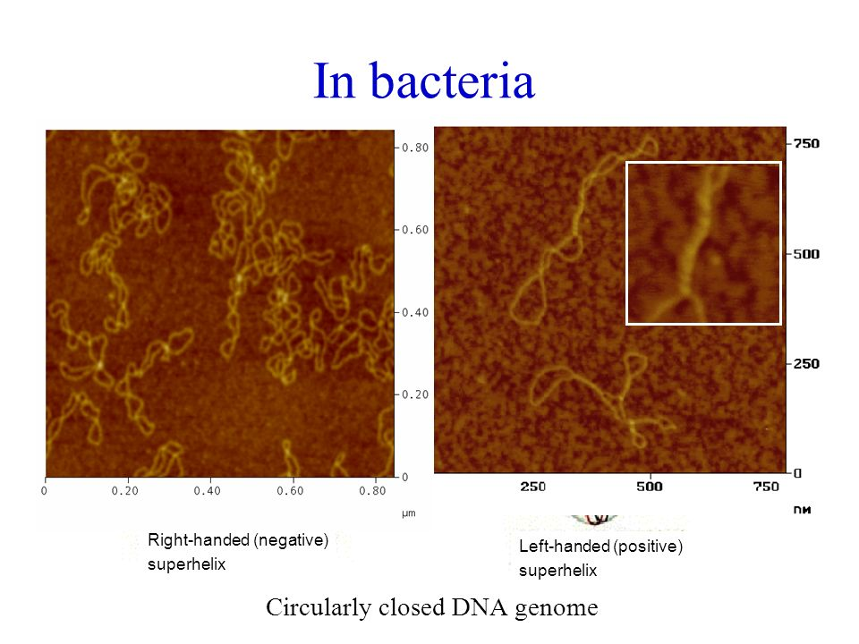 In bacteria Circularly closed DNA genome Right-handed (negative)