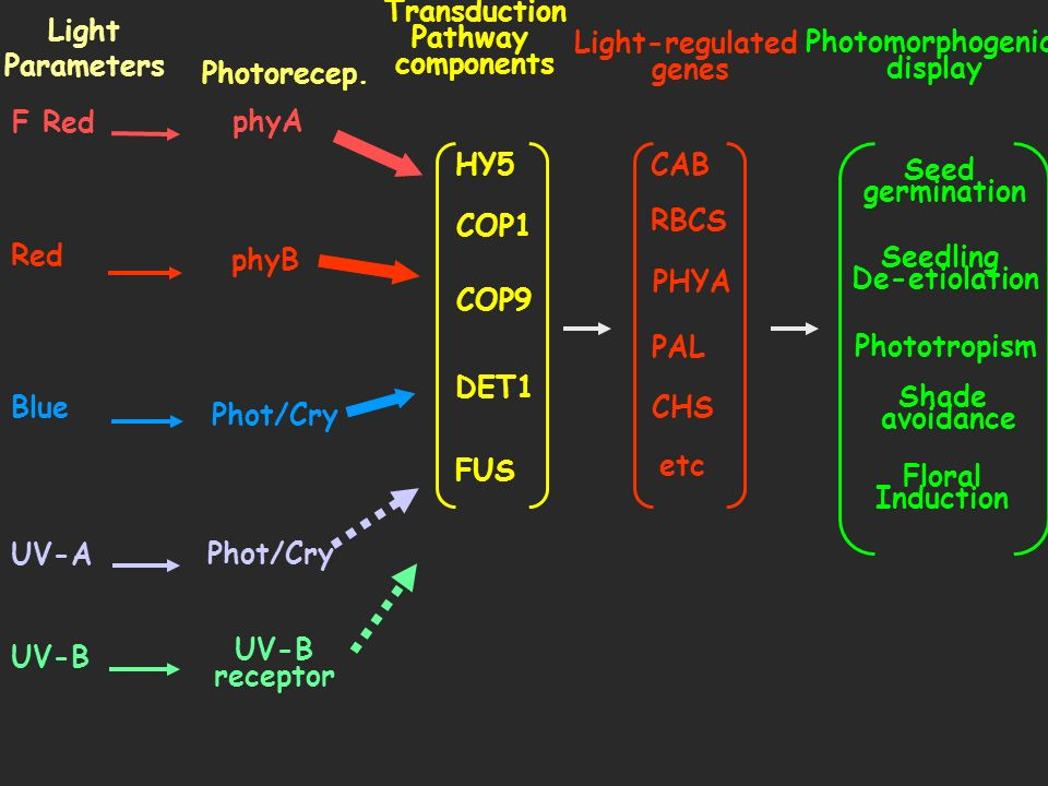 Transduction Pathway. components. HY5. COP1. COP9. DET1. FUS. UV-B. UV-A. Blue. Red. F Red.