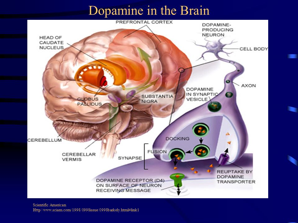 Dopamine in the Brain Scientific American