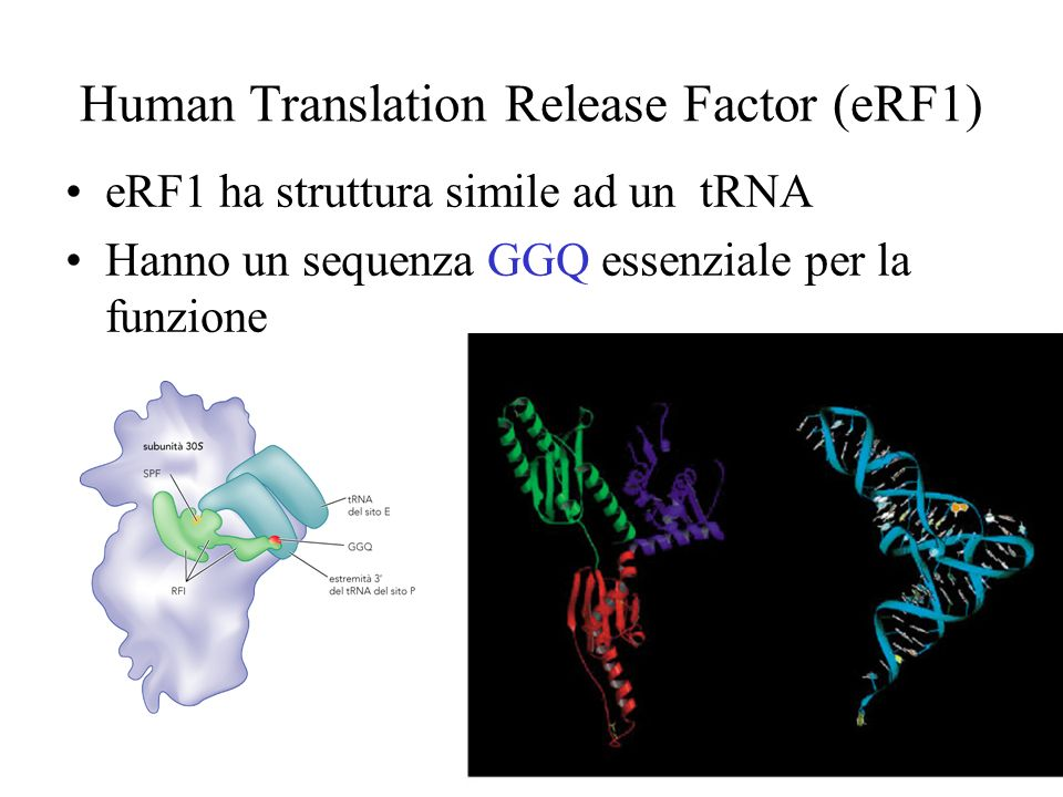 Human Translation Release Factor (eRF1)