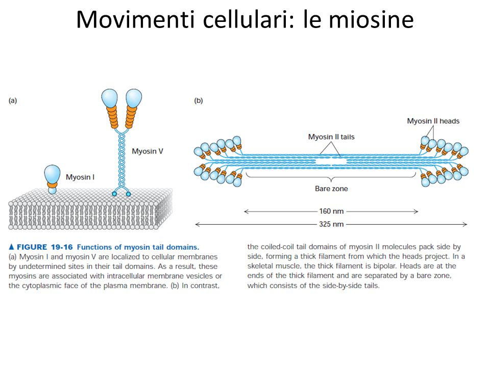 Movimenti cellulari: le miosine