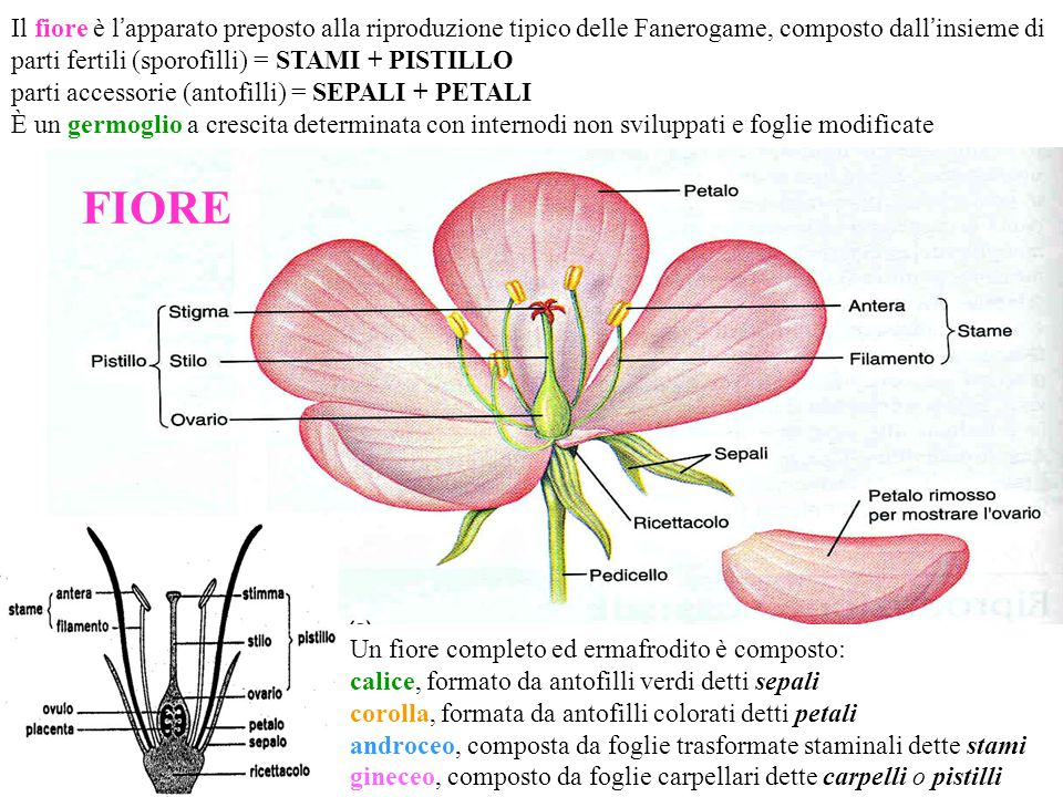 Il Fiore è Lapparato Preposto Alla Riproduzione Tipico Delle