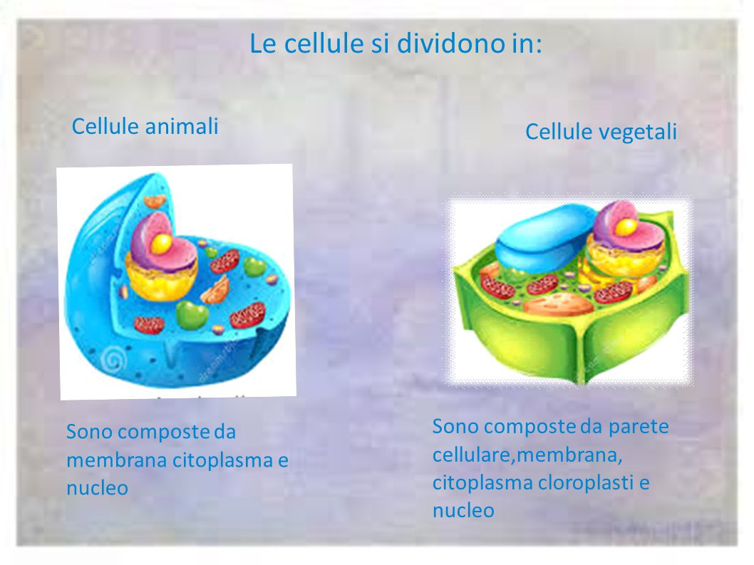 Le cellule si dividono in: