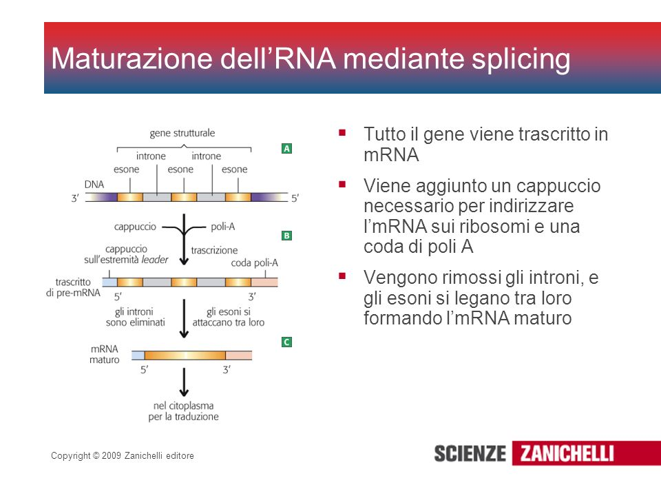 Maturazione dell'RNA mediante splicing