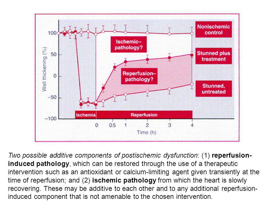 Two possible additive components of postischemic dysfunction: (1) reperfusion-induced pathology, which can be restored through the use of a therapeutic intervention such as an antioxidant or calcium-limiting agent given transiently at the time of reperfusion; and (2) ischemic pathology from which the heart is slowly recovering.