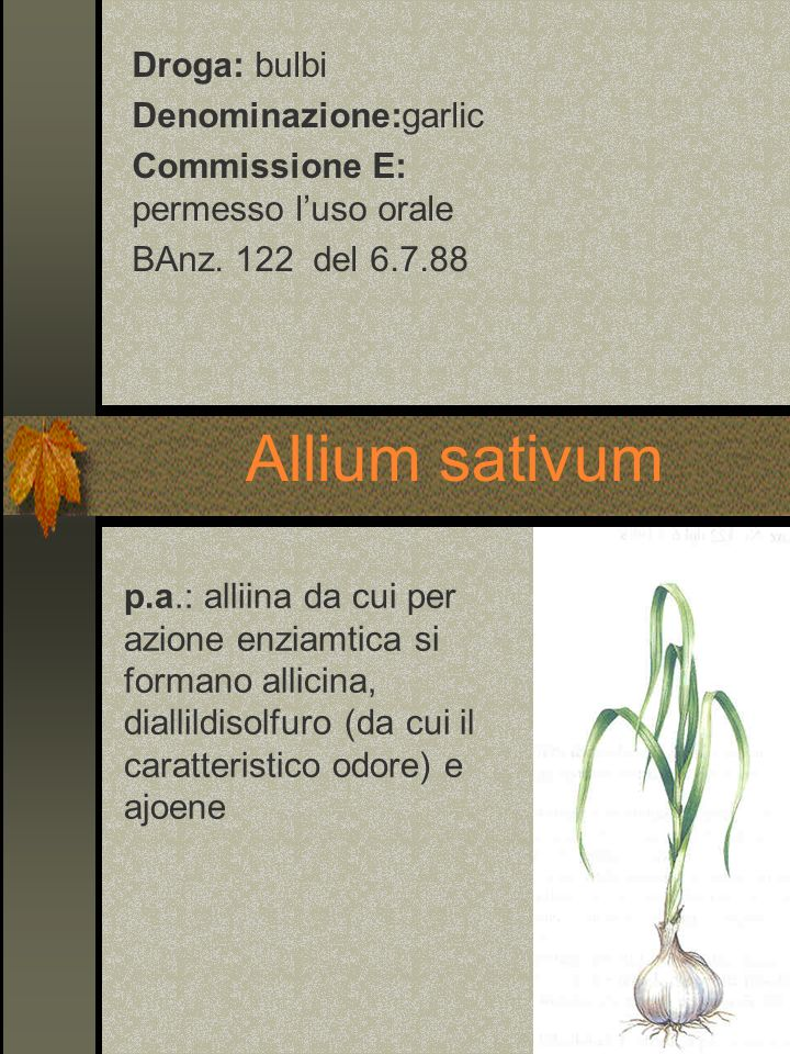 Allium sativum Droga: bulbi Denominazione:garlic