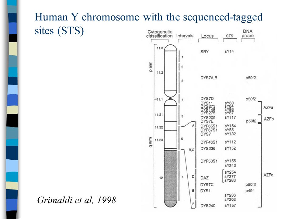 Human Y chromosome with the sequenced-tagged sites (STS)