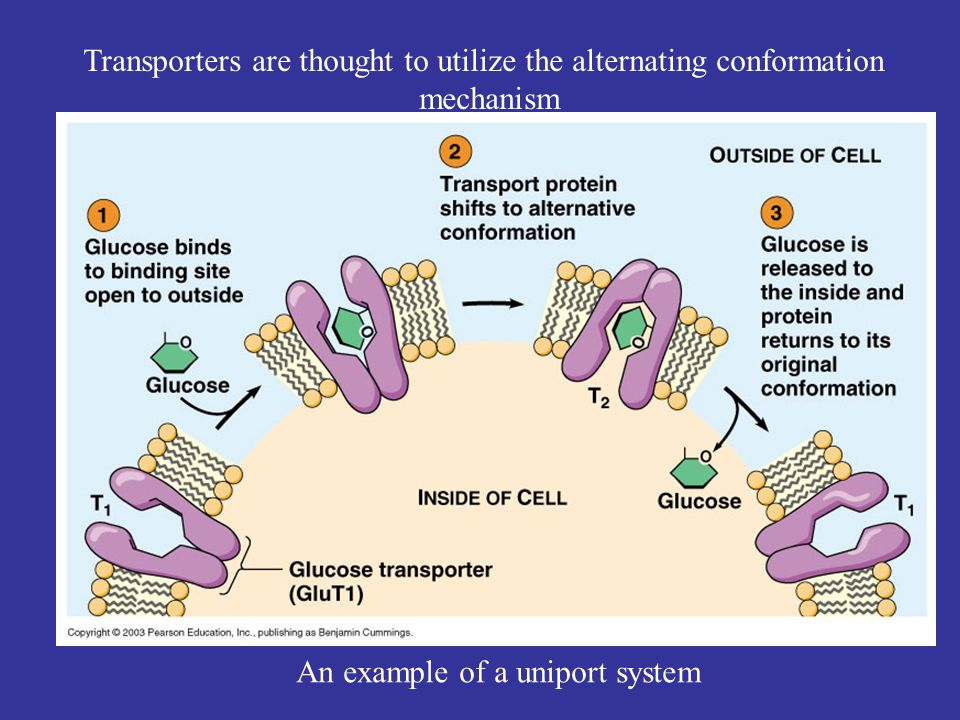 Transporters are thought to utilize the alternating conformation