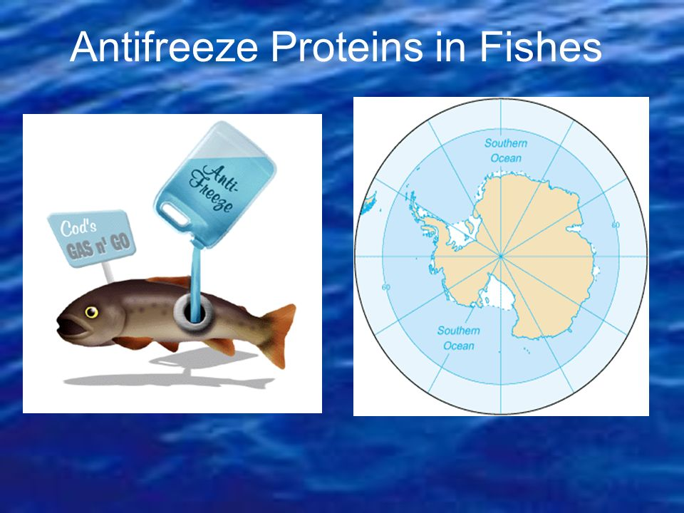 Antifreeze Proteins in Fishes