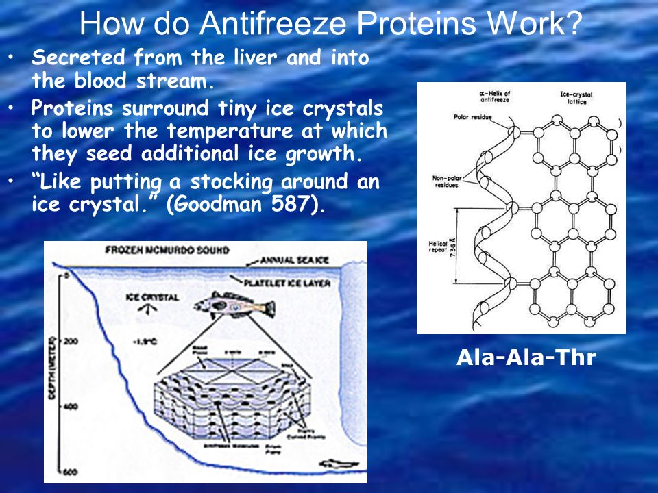 How do Antifreeze Proteins Work