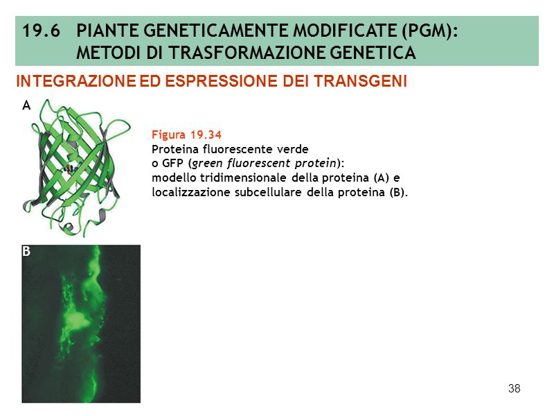 19.6 PIANTE GENETICAMENTE MODIFICATE (PGM):