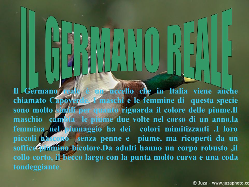 IL GERMANO REALE