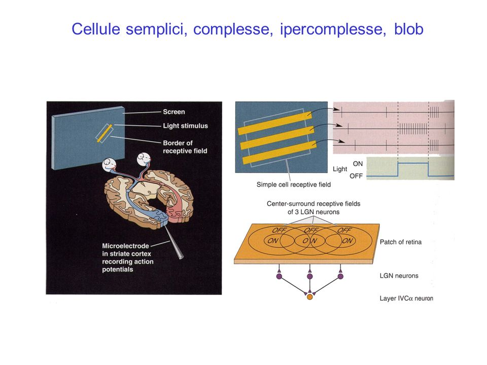 Cellule semplici, complesse, ipercomplesse, blob