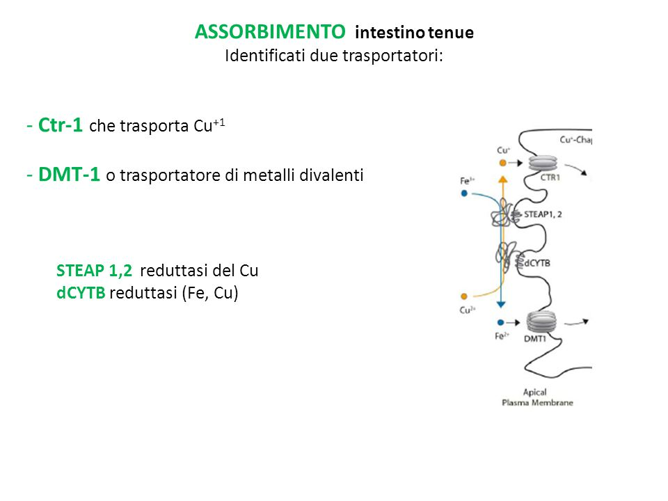 ASSORBIMENTO intestino tenue