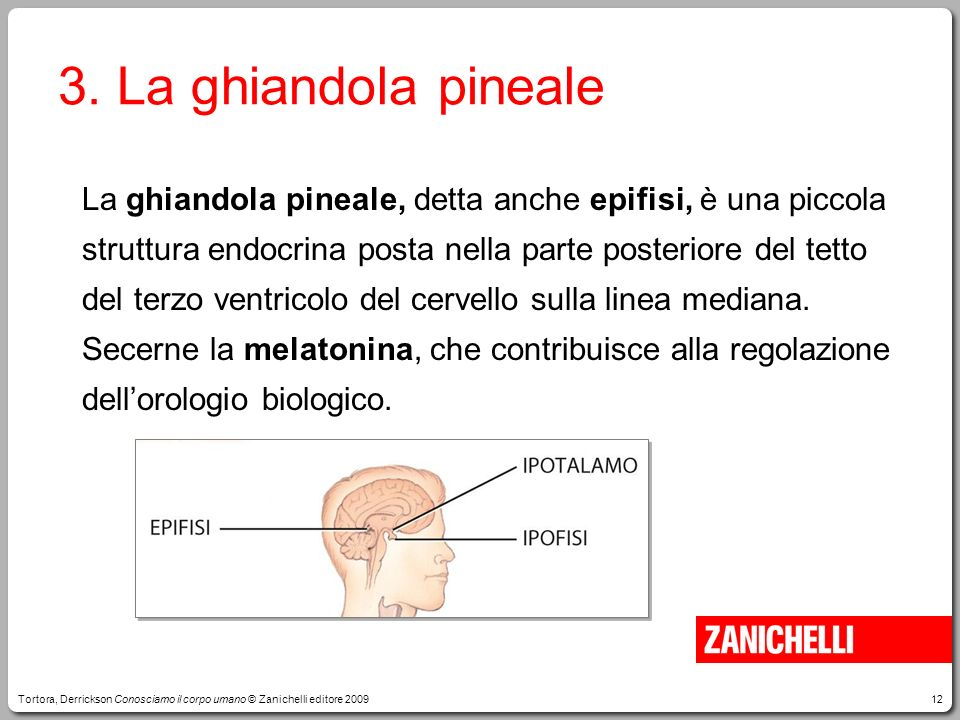3. La ghiandola pineale