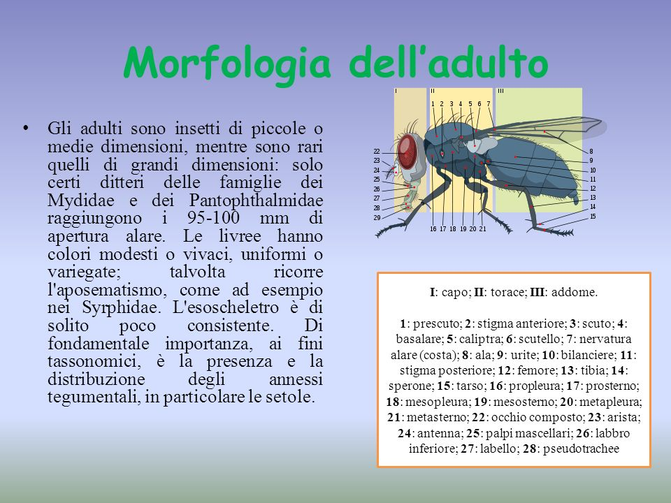 Morfologia dell'adulto