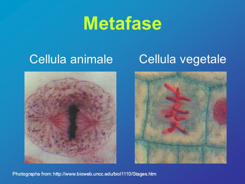Metafase Cellula animale Cellula vegetale