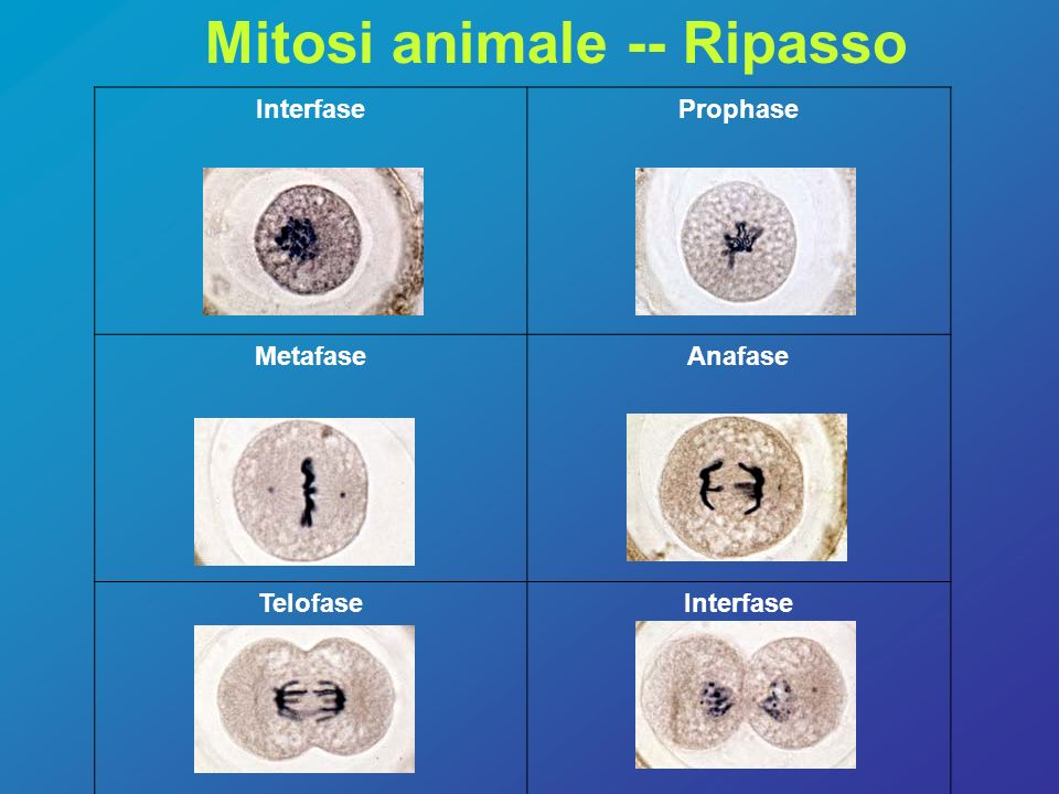 Mitosi animale -- Ripasso