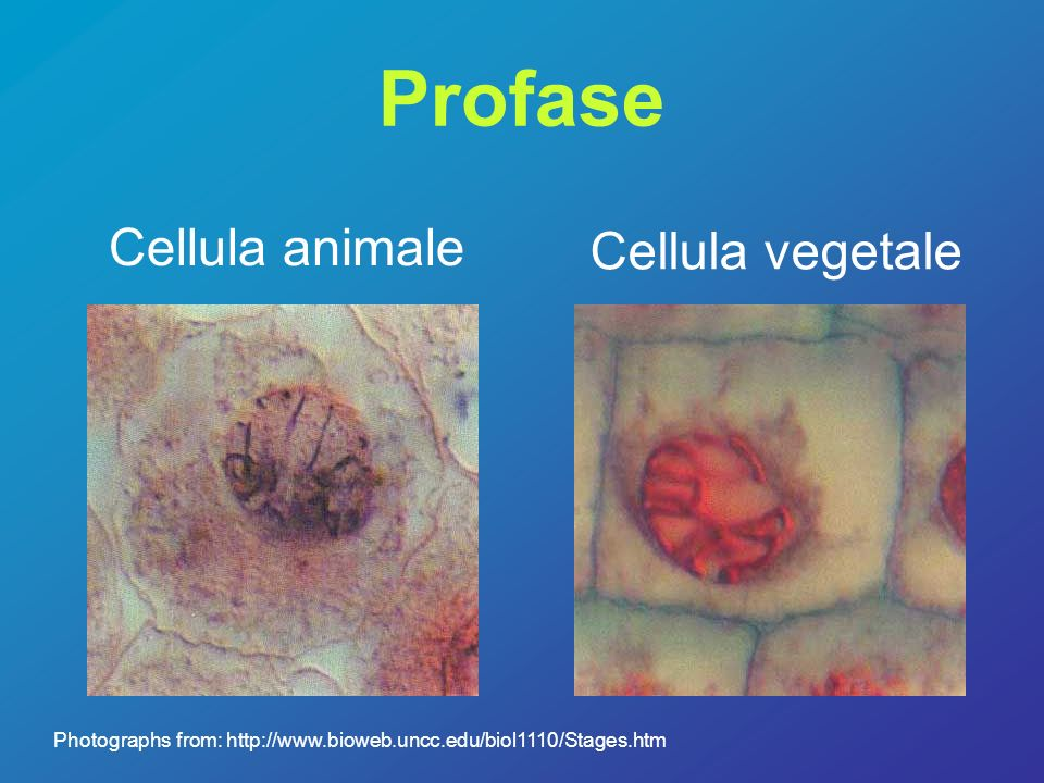Profase Cellula animale Cellula vegetale