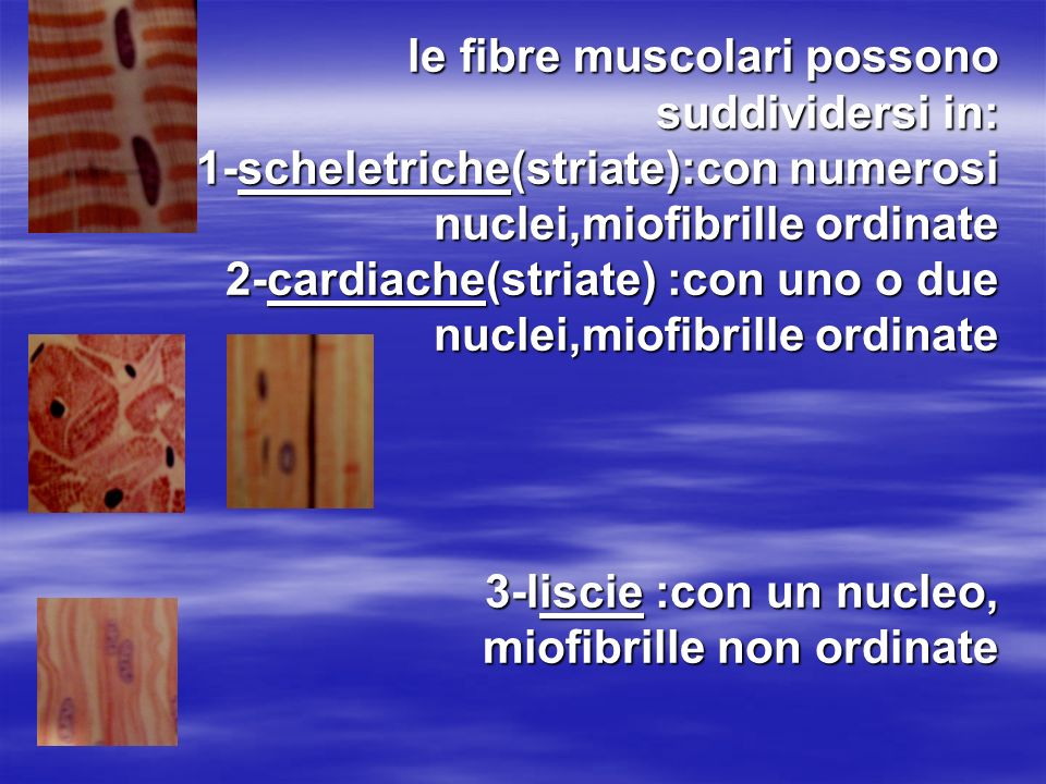 le fibre muscolari possono suddividersi in: 1-scheletriche(striate):con numerosi nuclei,miofibrille ordinate 2-cardiache(striate) :con uno o due nuclei,miofibrille ordinate