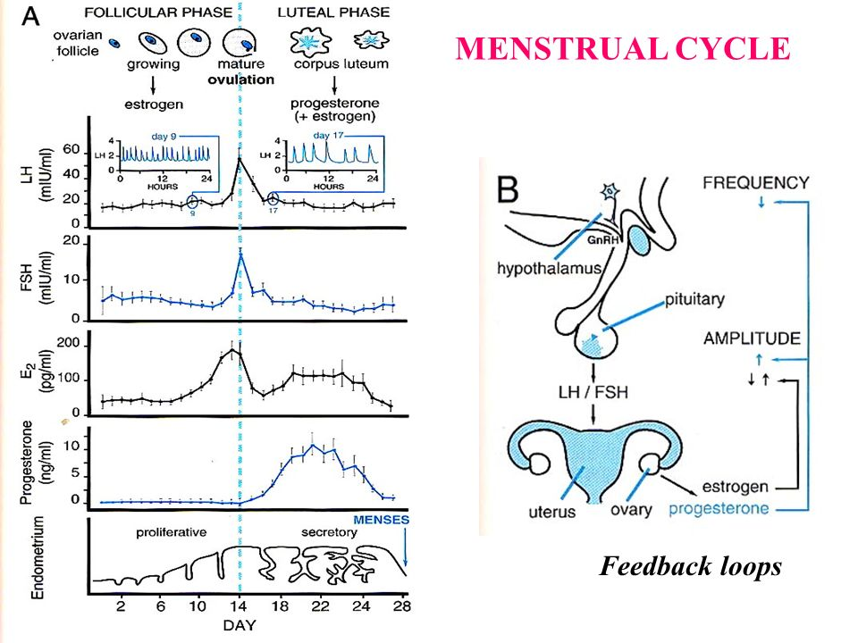 MENSTRUAL CYCLE Feedback loops