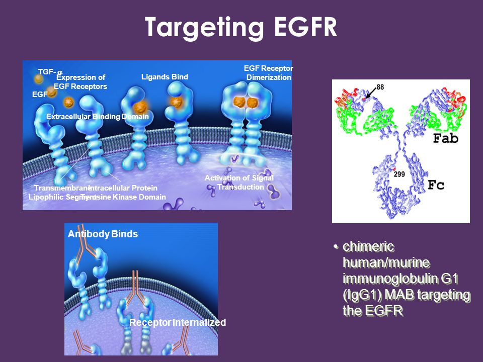 Targeting EGFR Expression of EGF Receptors. Ligands Bind. EGF Receptor Dimerization. TGF-  EGF.